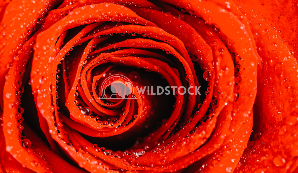 Wet Red Rose Close Up With Water Droplets Radu Bercan Wet Red Rose Close Up With Water Droplets