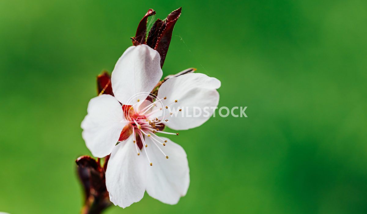 Cherry Tree Flowers Blossom Close Up In Spring Radu Bercan Pink Cherry Tree Flowers Blossom Close Up In Spring