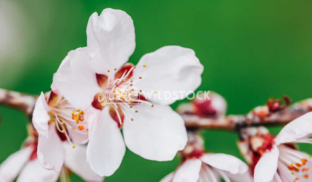 Pink Cherry Flowers Blossom Close Up In Spring Radu Bercan Pink Cherry Tree Flowers Blossom Close Up In Spring