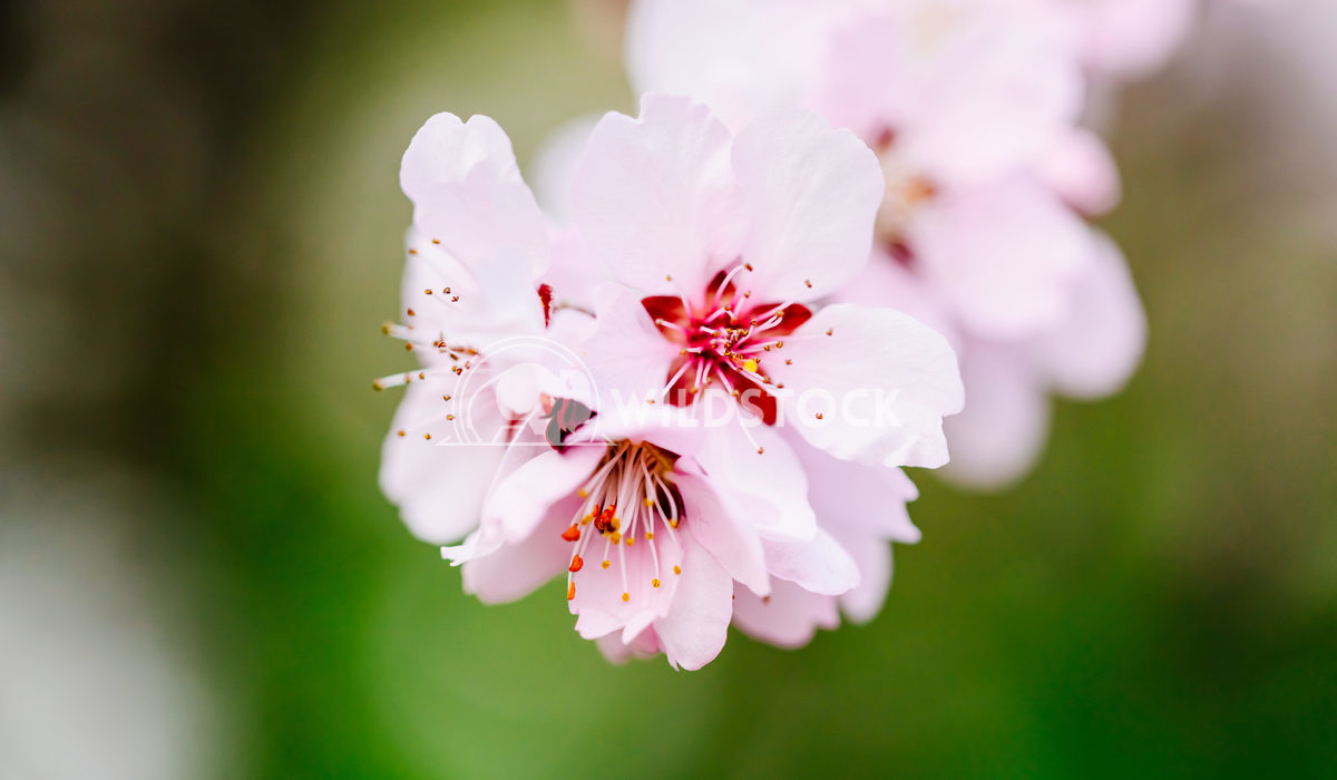 Pink Tree Flowers Blossom Close Up Radu Bercan Pink Cherry Tree Flowers Blossom Close Up In Spring