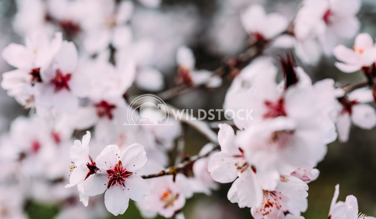 Pink Cherry Tree Flowers In Spring Radu Bercan Pink Cherry Tree Flowers Blossom Close Up In Spring
