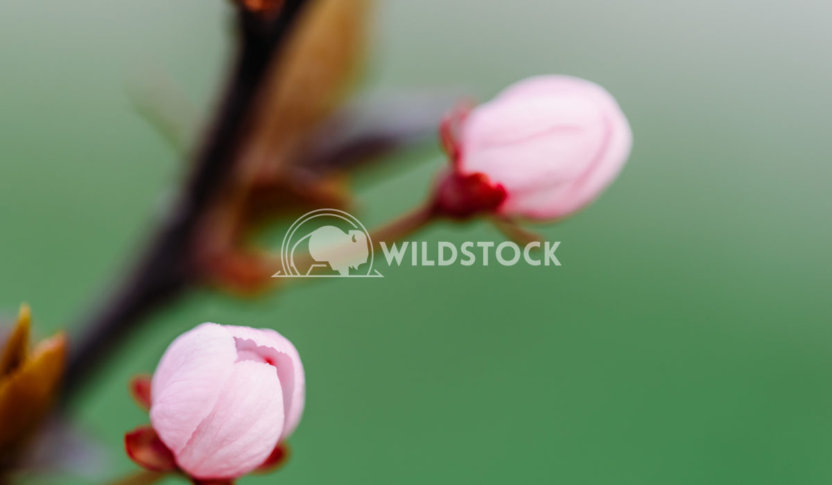 Pink Cherry Tree Flower Bud Close Up In Spring Radu Bercan Pink Cherry Tree Flower Bud Close Up In Spring