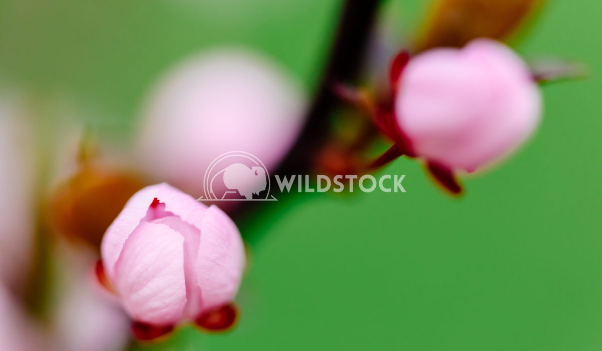 Pink Tree Flower Bud Close Up In Spring Radu Bercan Pink Cherry Tree Flower Bud Close Up In Spring