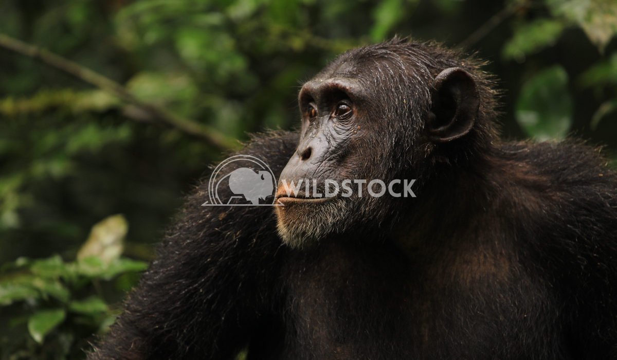 Chimpanzee Portrait 1