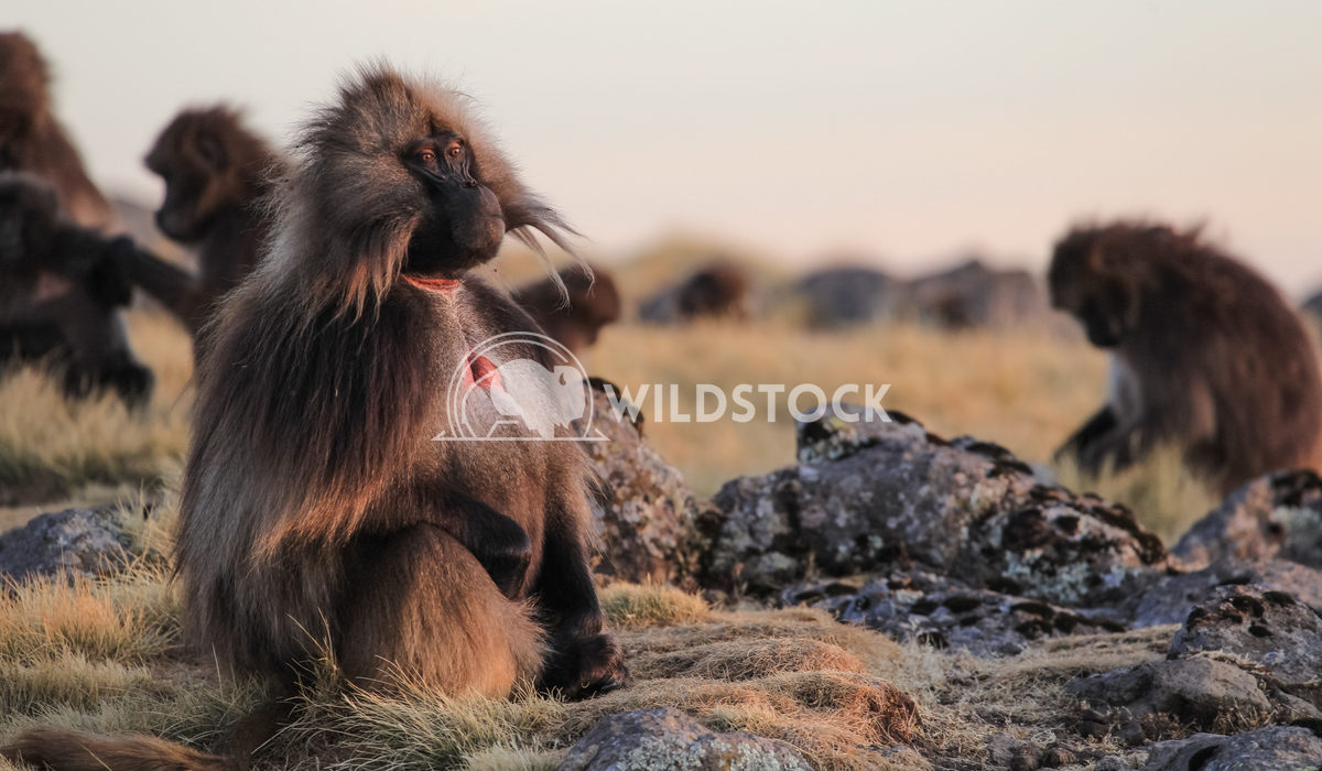 Male Gelada Baboons in Simien Mountains Ethiopia