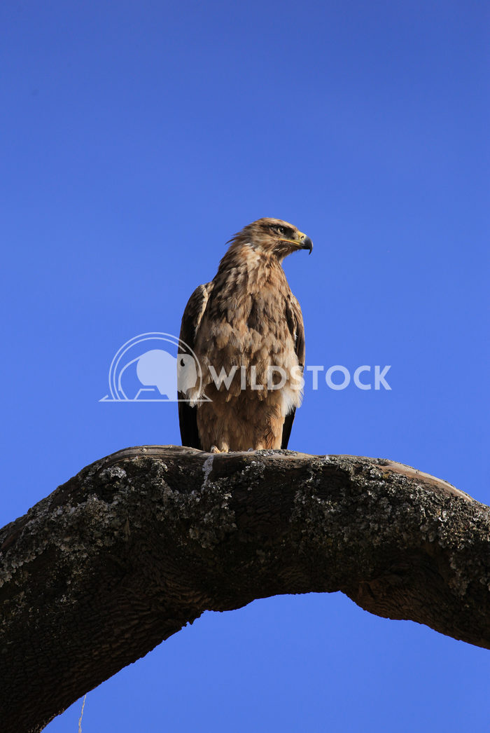 Lone Golden Eagle Perched on Branch in Simien Moutains