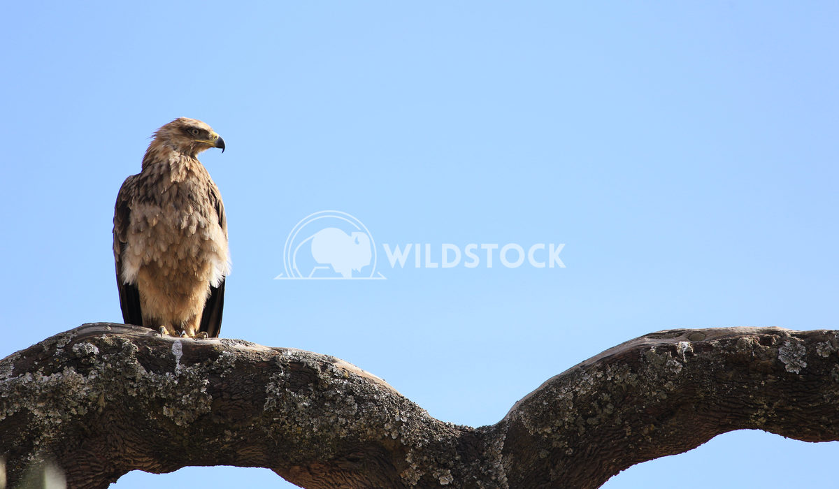 Golden Eagle Perched on Branch in Simien Moutains