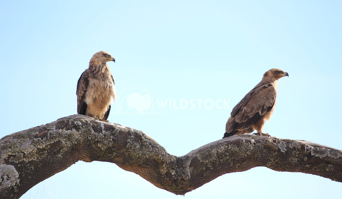 Golden Eagles Perched on Branch in Simien Moutains
