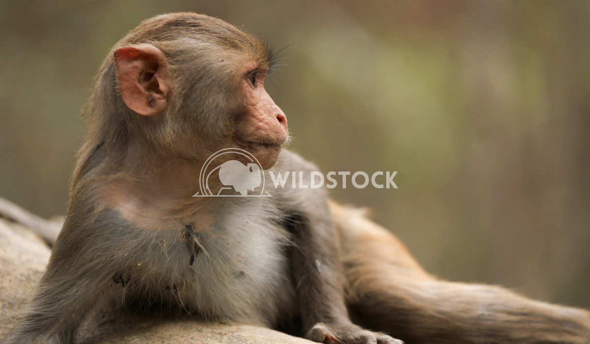 Rhesus Macaque lounging in Sundarbans National Park