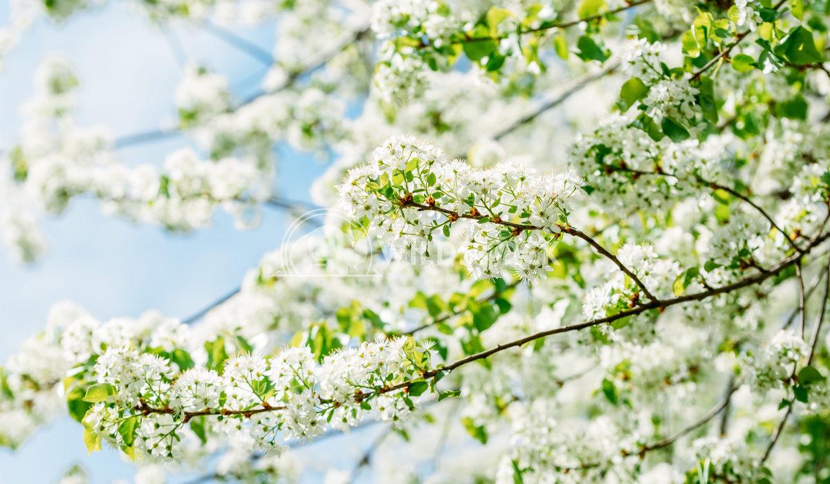 White Tree Flowers In Springtime Radu Bercan White Apple Tree Flowers In Spring