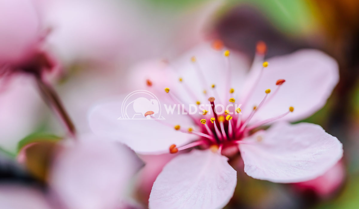 Pink Tree Flowers Blossom In Spring Radu Bercan Pink Tree Flowers Blossom Close Up In Spring