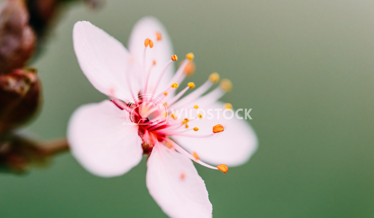 Pink Tree Flowers Blossom Close Up In Springtime Radu Bercan Pink Tree Flowers Blossom Close Up In Spring