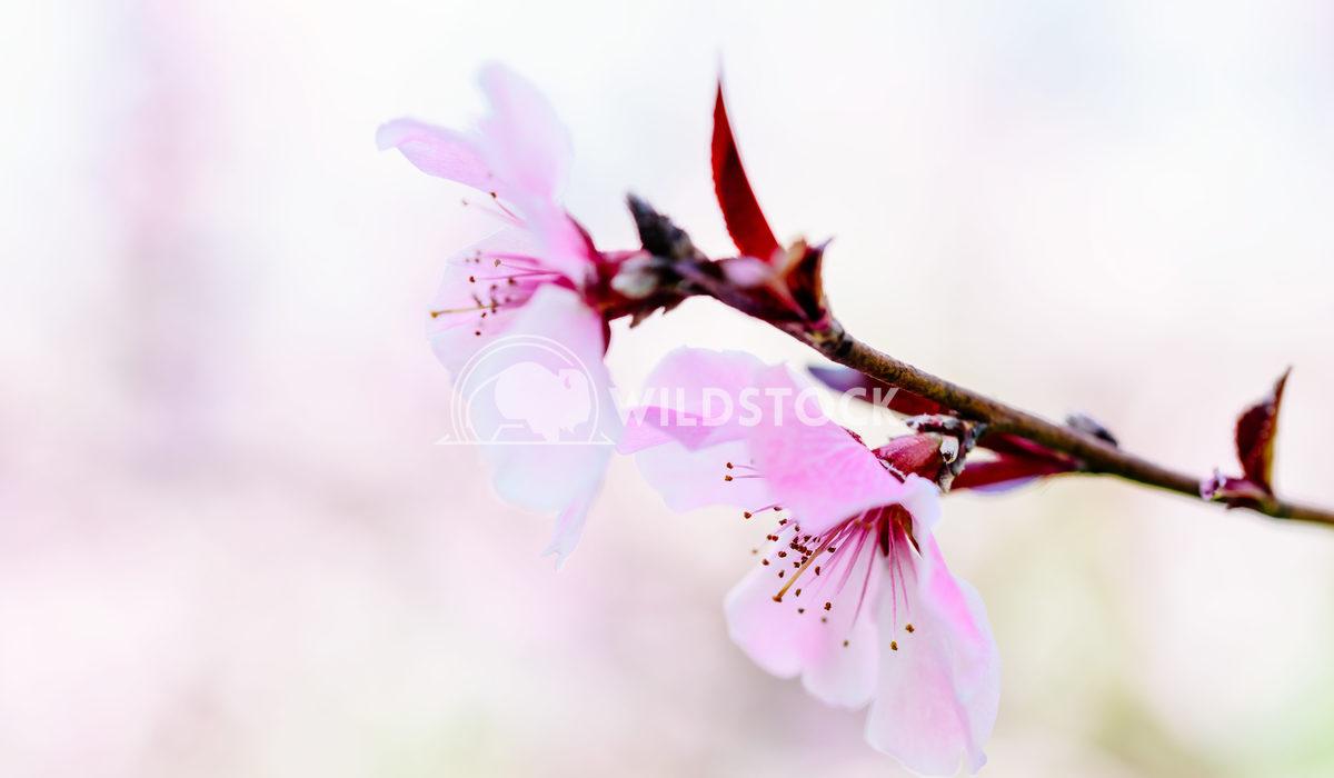 Pink Tree Flowers Blossom In Springtime Radu Bercan Pink Tree Flowers Blossom Close Up In Spring