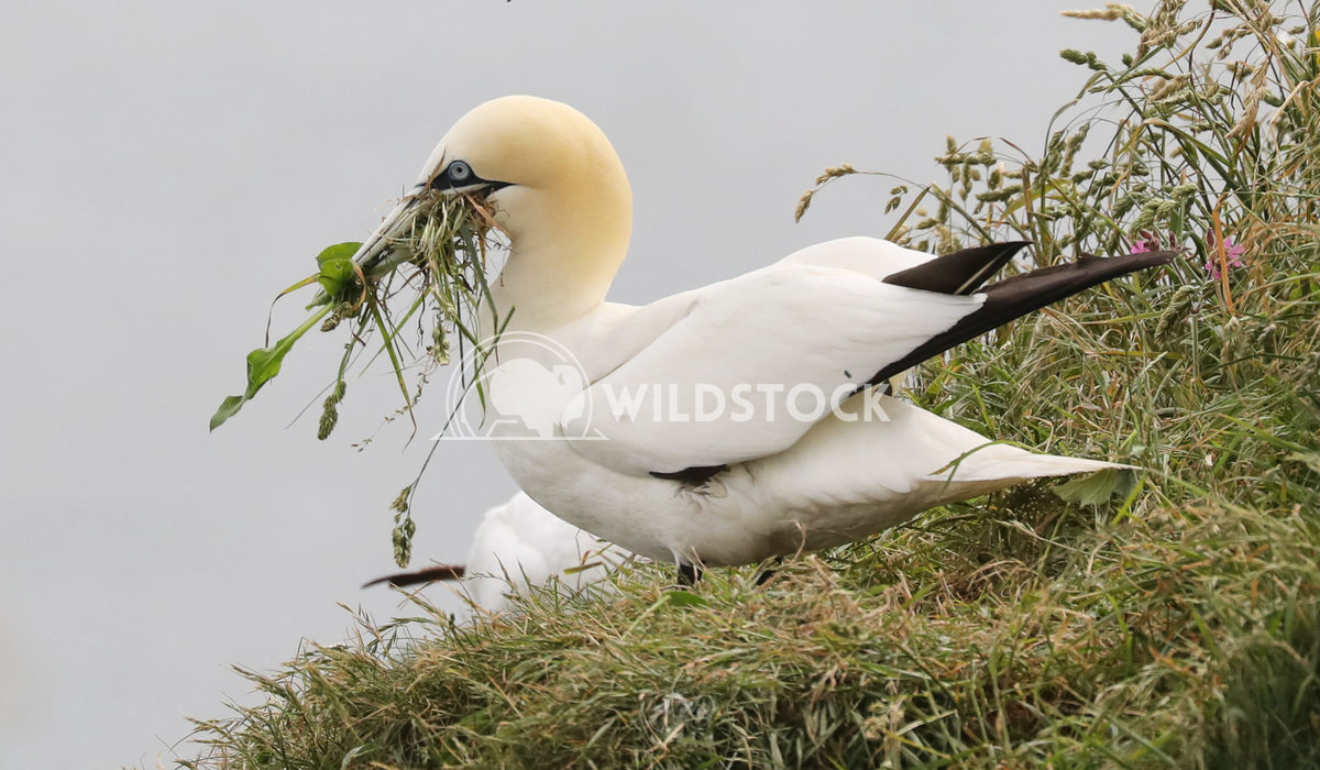 Gannet with foliage Jane Hewitt Gannet on clifftop with foliage