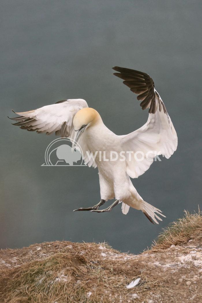 Gannet landing Jane Hewitt Single gannet landing