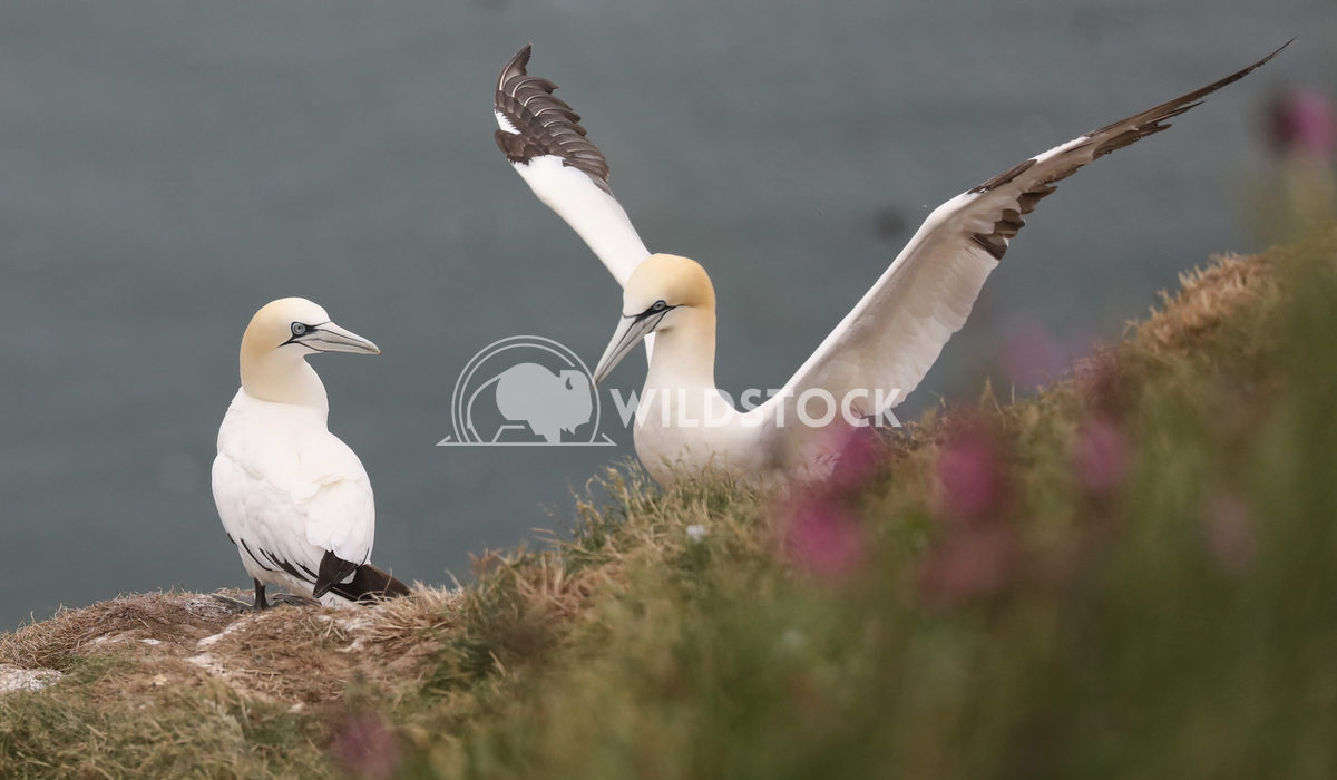 pair of gannets Jane Hewitt pair of gannets on cliff top