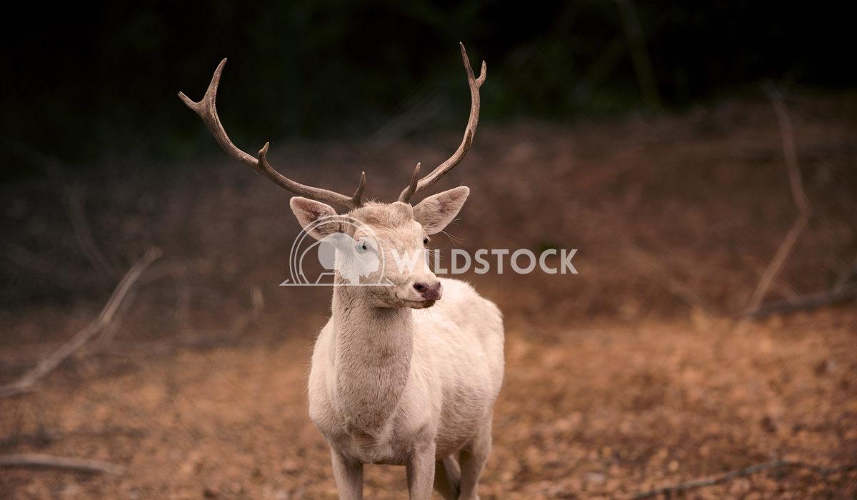 White Fallow Buck Tim Thompson A White Fallow Buck checks its surroundings in rural Mississippi.