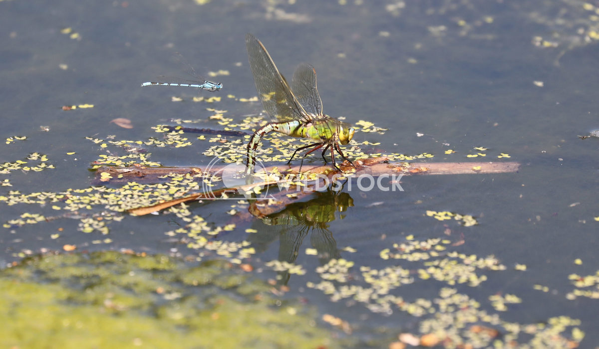 Emperor Dragonfly 1 Jane Hewitt Emperor Dragonfly ovipositing and damselfly