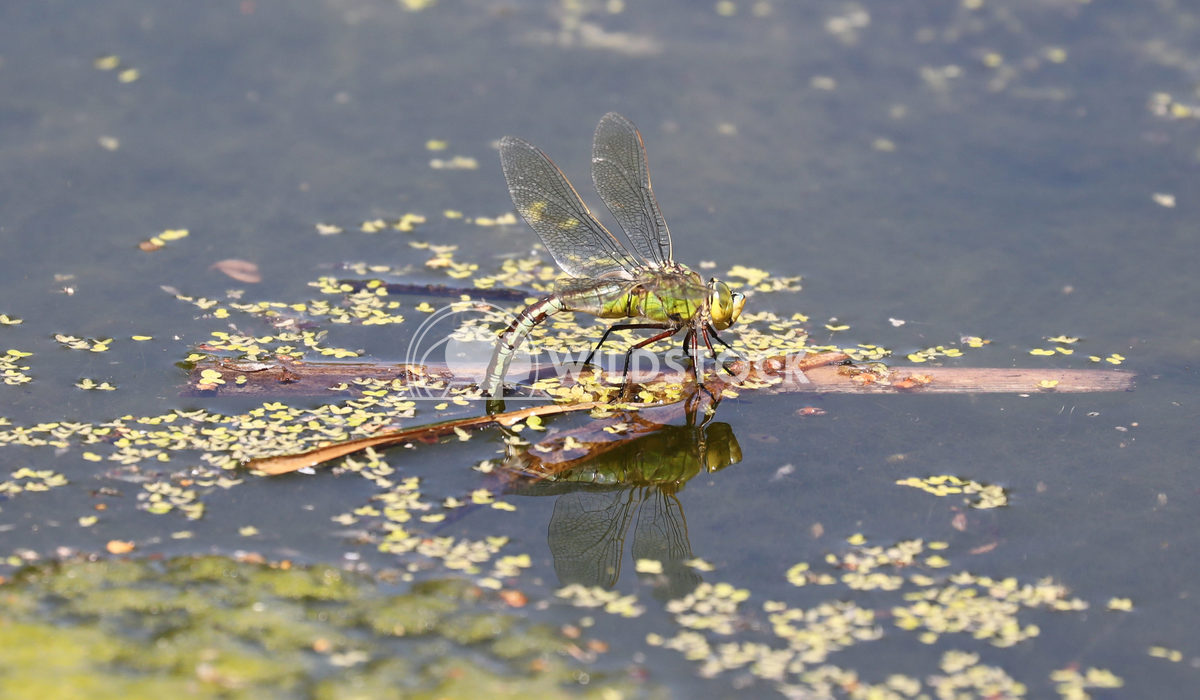 Emperor Dragonfly 2 Jane Hewitt Emperor Dragonfly laying eggs ovipositing