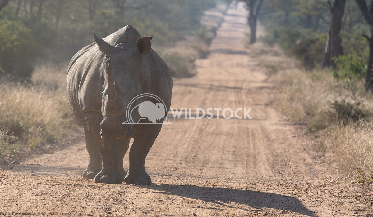 South African Rhino Stacy White Rhinoceros standing on dirt road in Sabi Sand Private Reserve