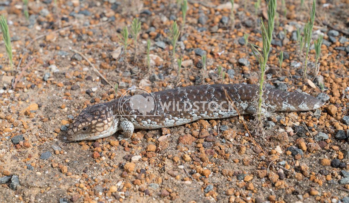 Shingleback Lizard, Tiliqua rugosa 2 Alexander Ludwig Shingleback Lizard, Tiliqua rugosa, photo was taken in the Fitzger