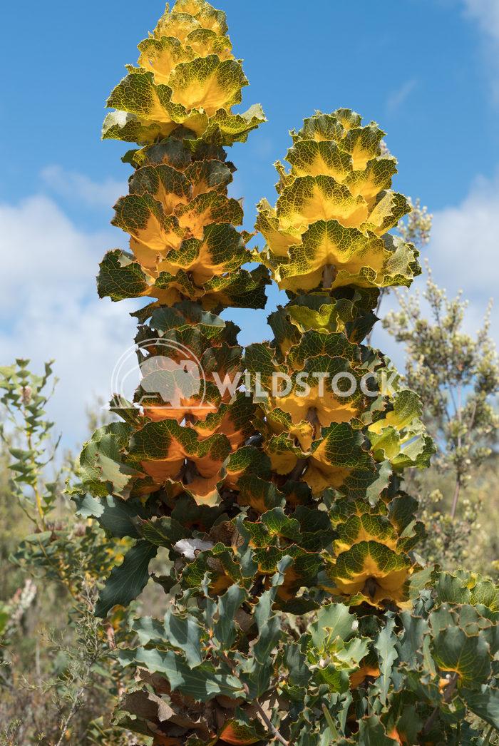 Royal hakea, Hakea victoira 1 Alexander Ludwig Royal hakea, Hakea victoira, beautiful flora of the Fitzgerald River Nati
