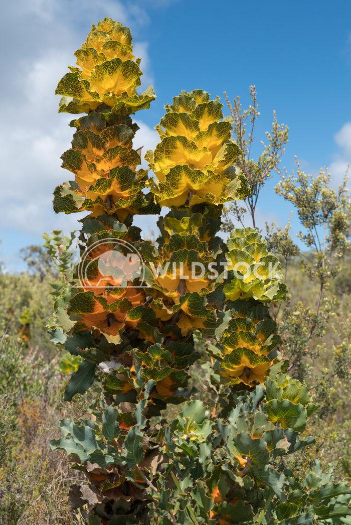 Royal hakea, Hakea victoira 2 Alexander Ludwig Royal hakea, Hakea victoira, beautiful flora of the Fitzgerald River Nati