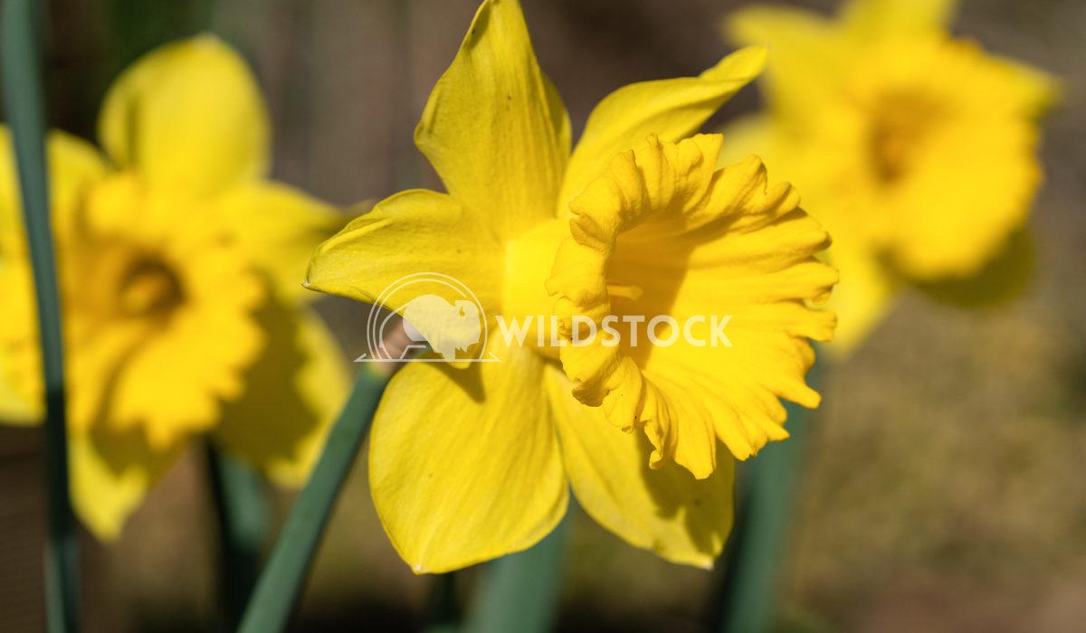 Daffodil, Narcissus pseudonarcissus 1 Alexander Ludwig Daffodil (Narcissus pseudonarcissus), flowers of springtime