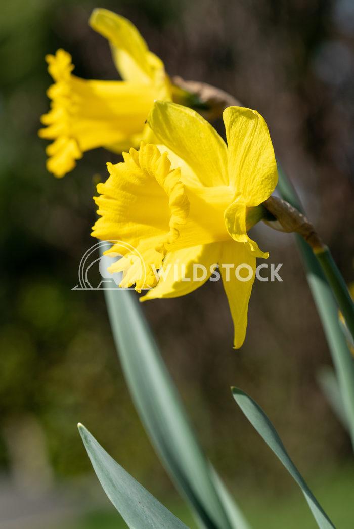 Daffodil, Narcissus pseudonarcissus 2 Alexander Ludwig Daffodil (Narcissus pseudonarcissus), flowers of springtime