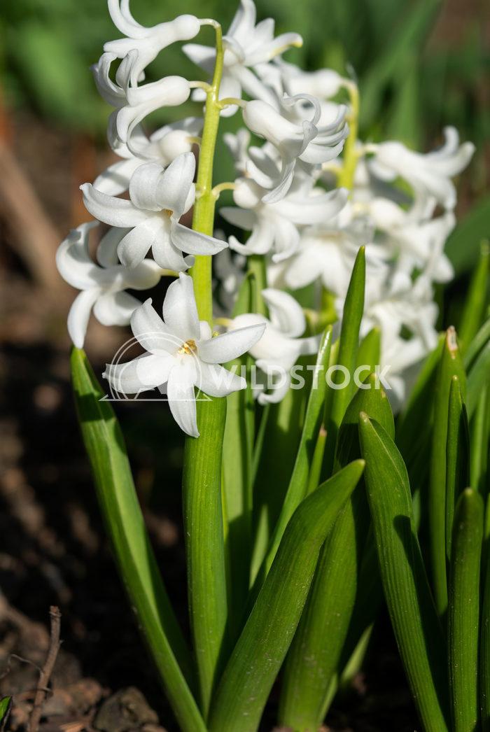 Common Hyacinth, Hyacinthus orientalis 1 Alexander Ludwig Common Hyacinth (Hyacinthus orientalis), flowers of springtime