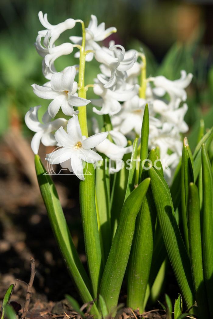 Common Hyacinth, Hyacinthus orientalis 2 Alexander Ludwig Common Hyacinth (Hyacinthus orientalis), flowers of springtime