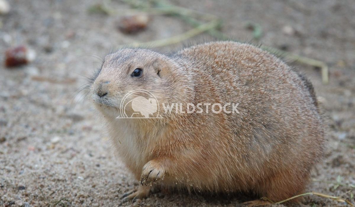 Black-tailed Prairie Dog, Cynomys ludovicianus 3 Alexander Ludwig Black-tailed Prairie Dog, Cynomys ludovicianus, wildli
