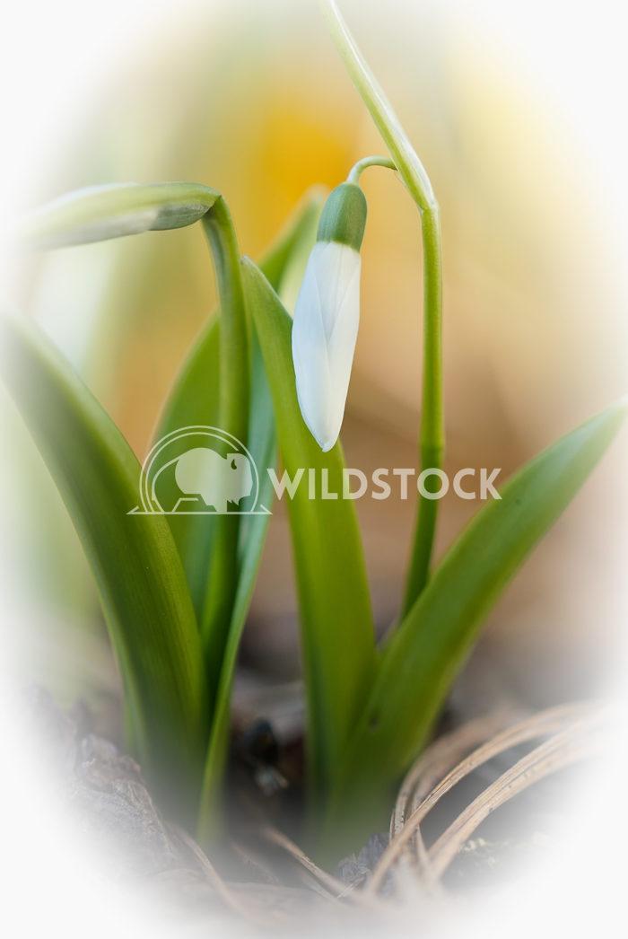 Common Snowdrop, Galanthus nivalis Alexander Ludwig Common Snowdrop, Galanthus nivalis, flowers of spring