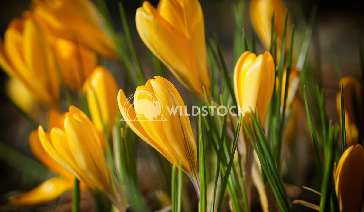 Crocus, colours of spring 1 Alexander Ludwig Flowerbed of crocus, garden flowers of spring