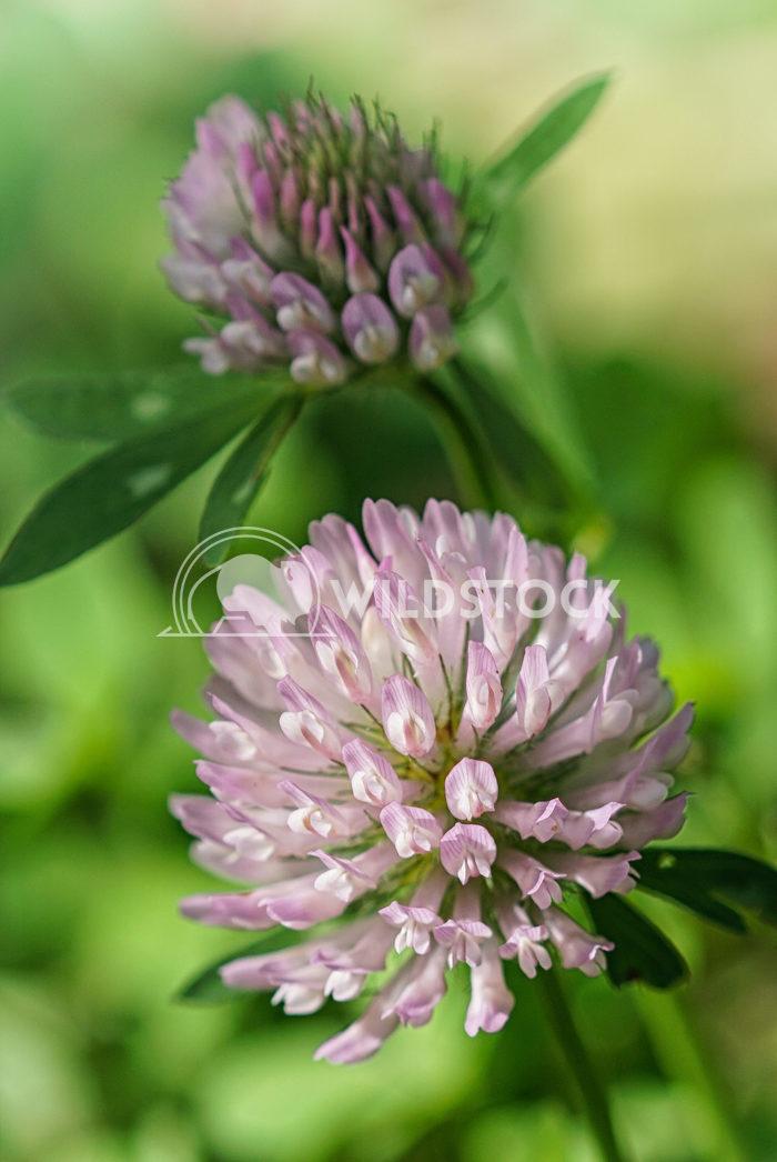 Red clover, Trifolium pratense 1 Alexander Ludwig Red clover (Trifolium pratense), flowers of meadows