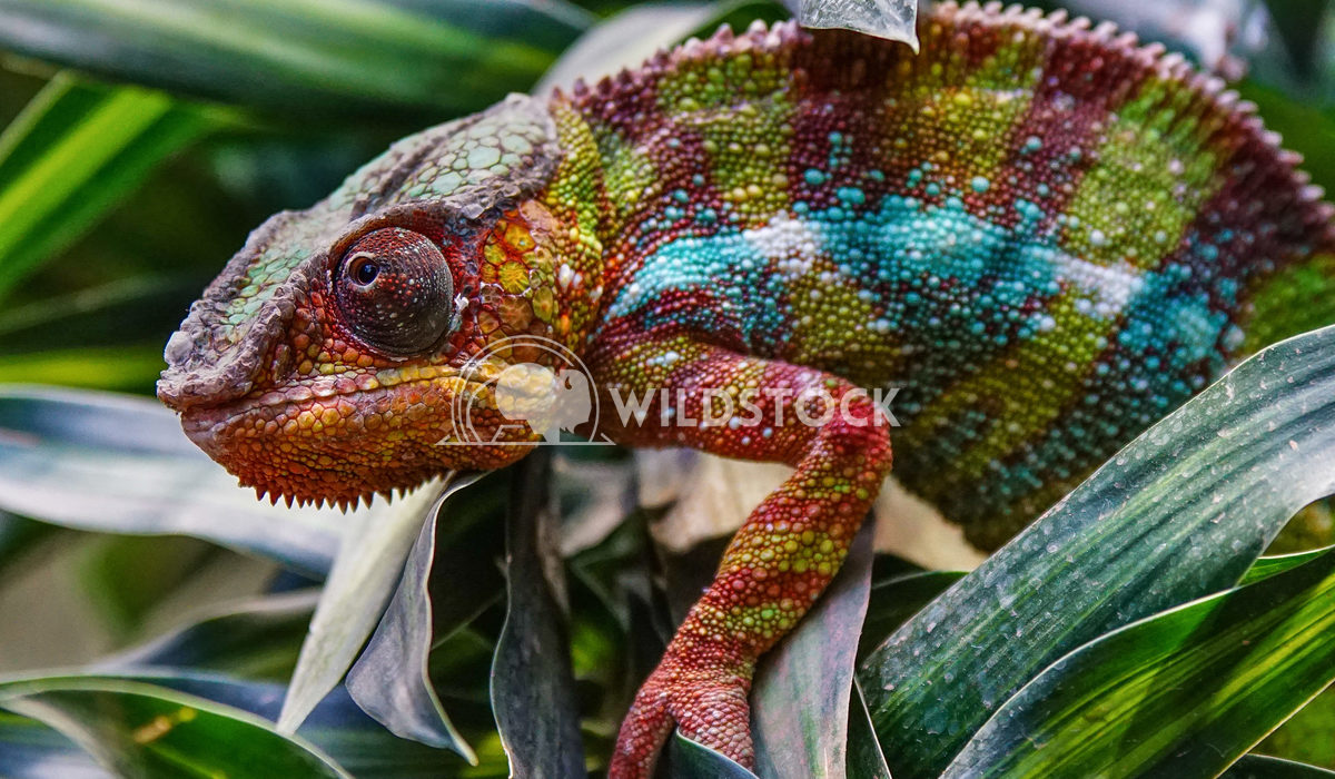Panther Chameleon, Furcifer pardalis Alexander Ludwig Panther Chameleon (Furcifer pardalis), fauna of Madagascar