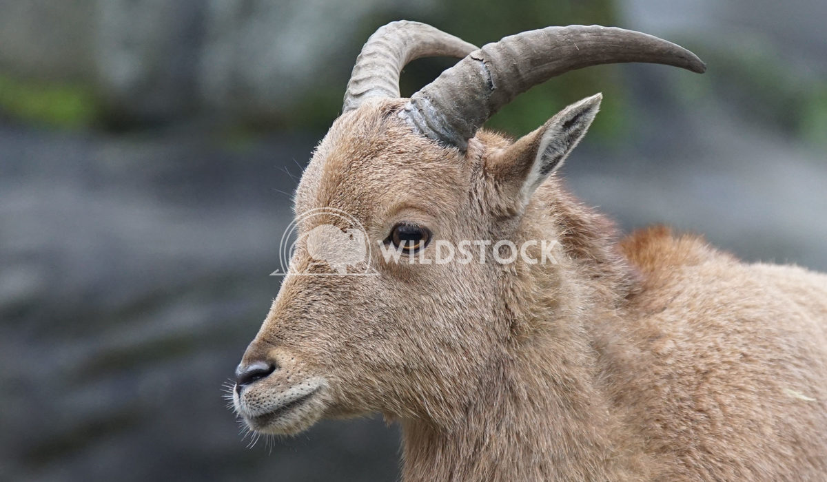 Barbary sheep, Ammotragus lervia Alexander Ludwig Barbary sheep, Ammotragus lervia, photo was taken in Africa