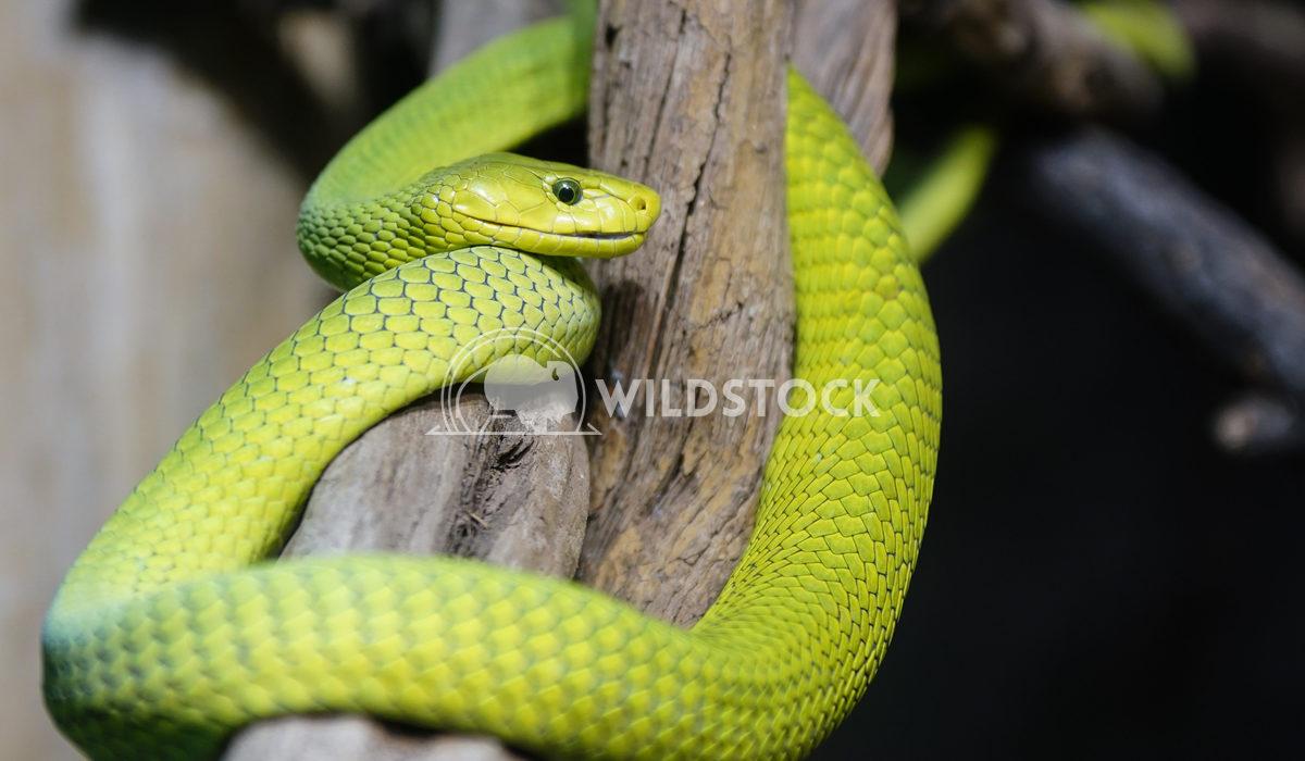 Green Mamba, Dendroaspis viridis Alexander Ludwig Green Mamba (Dendroaspis viridis), dangerous african snake