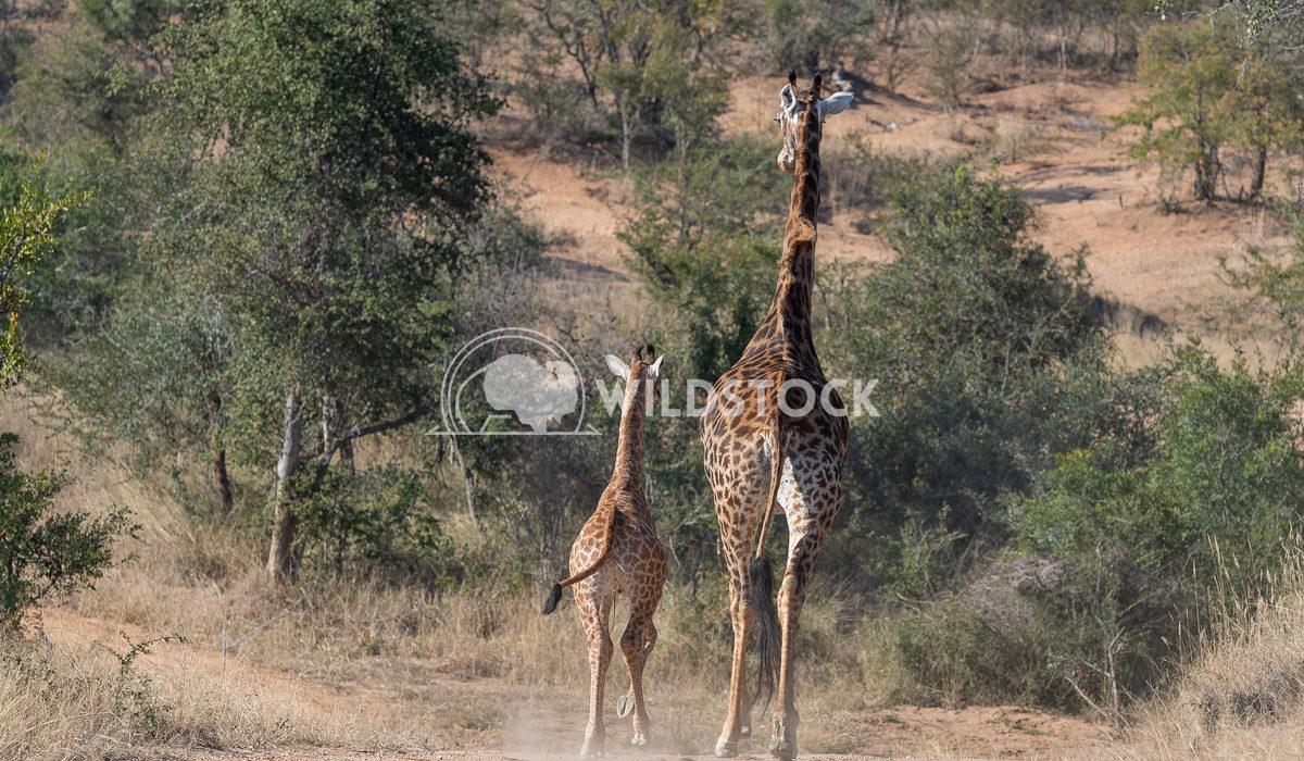 Giraffe  Stacy White