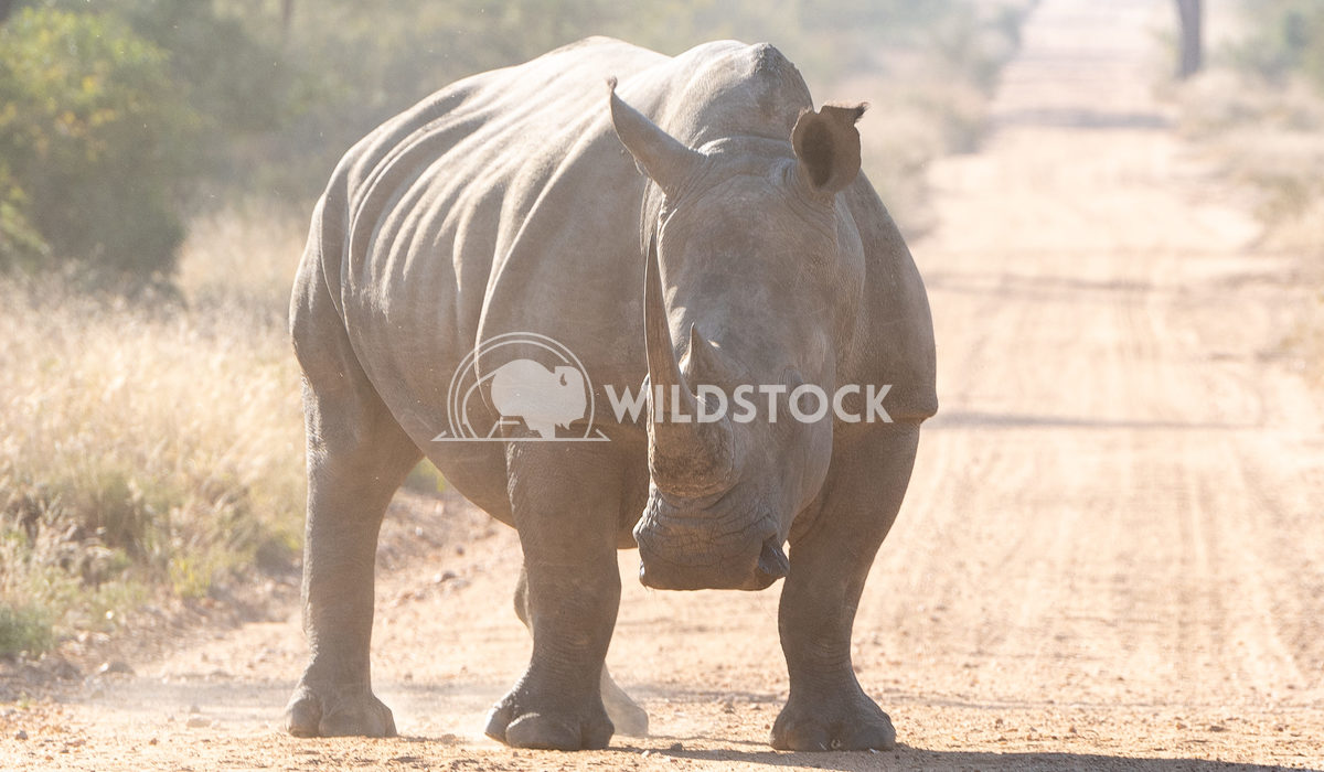 Single Rhino Stacy White