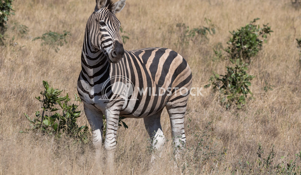 Zebra 1 Stacy White