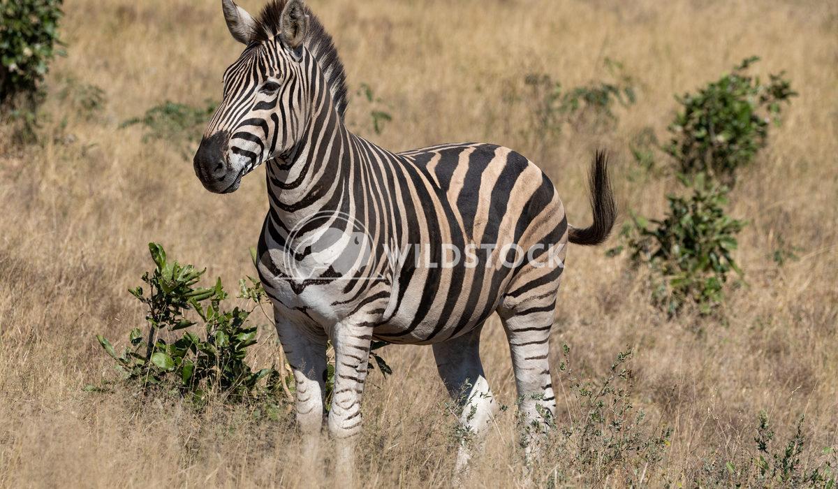Zebra 2 Stacy White