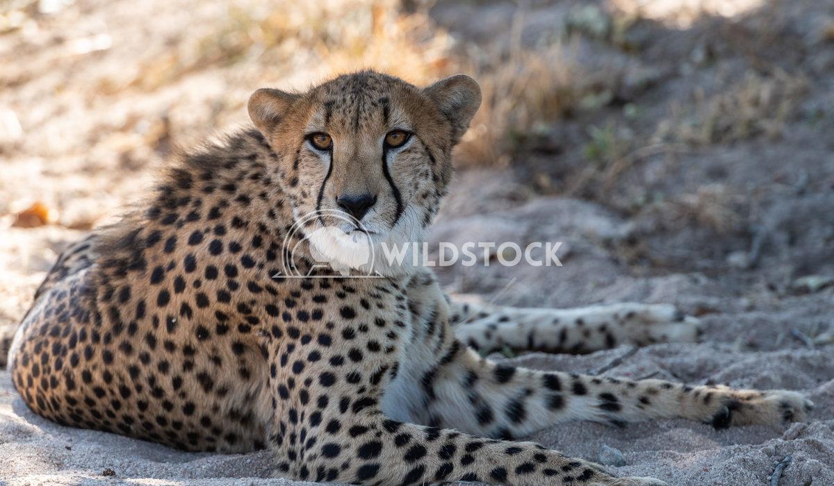 Cheetah Stacy White Cheetah seen at Hoedspruit Endangered Species Centre