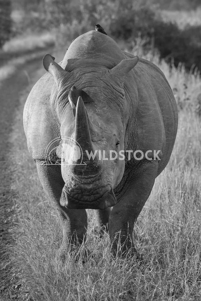 Rhino in Black and White Stacy White