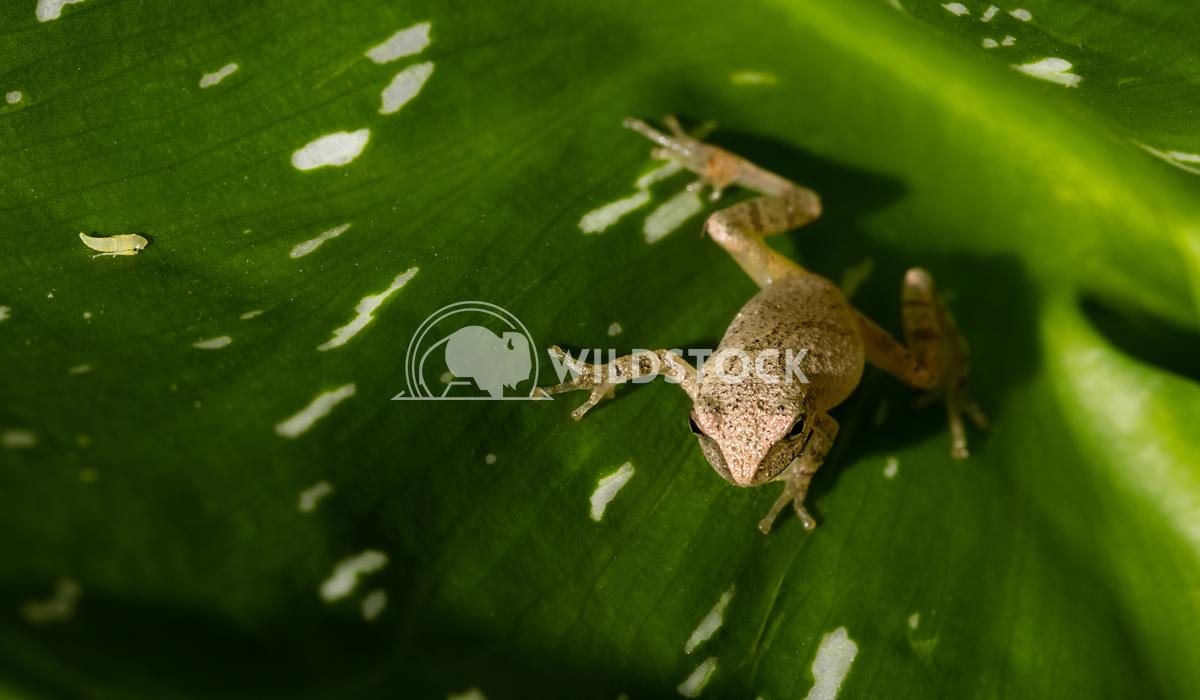 Little Grass Frog Lara Eichenwald Little grass frog sitting on a green leaf in a garden