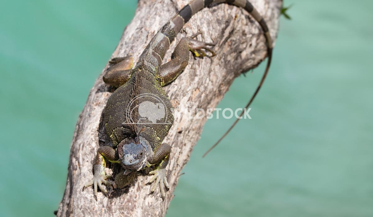 Green iguana on a tree branch  Lara Eichenwald Sun bathing wild iguana. Key West Florida