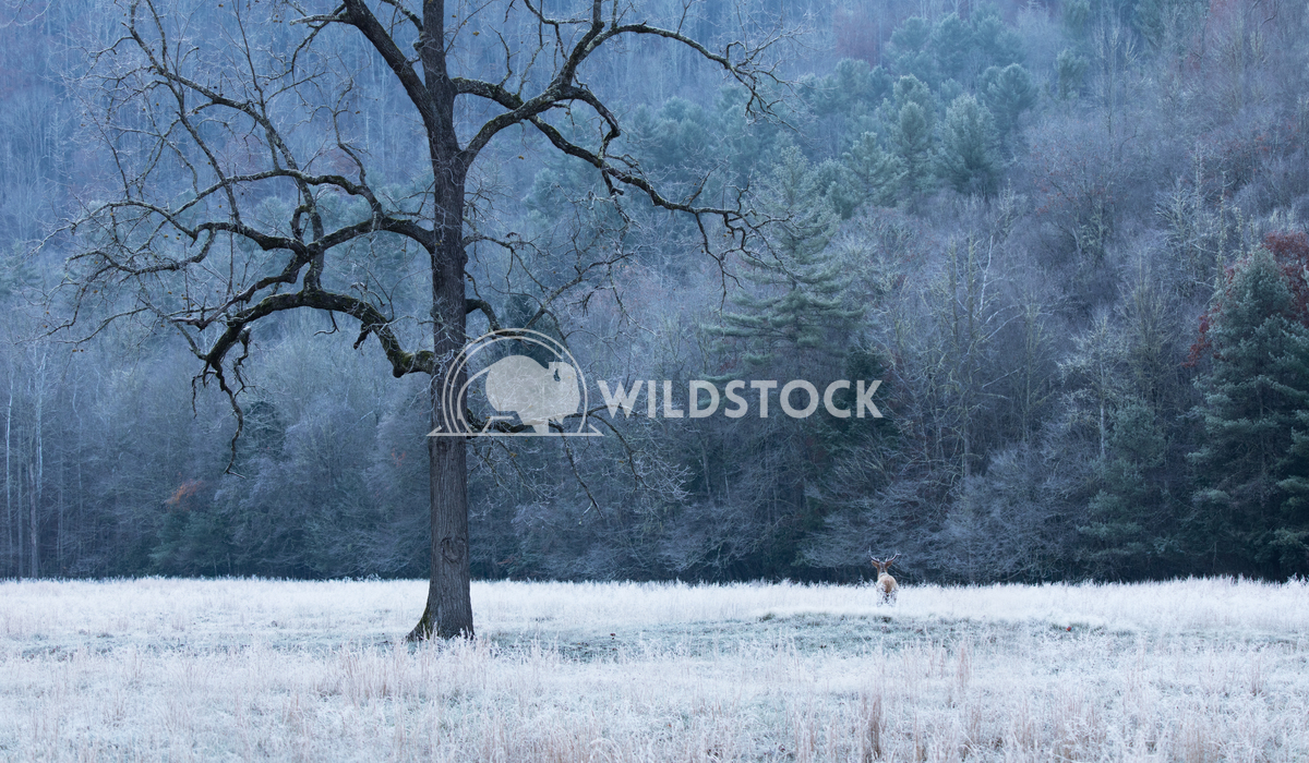 Elk looking into the woods Lara Eichenwald Elk looking into the woods. 