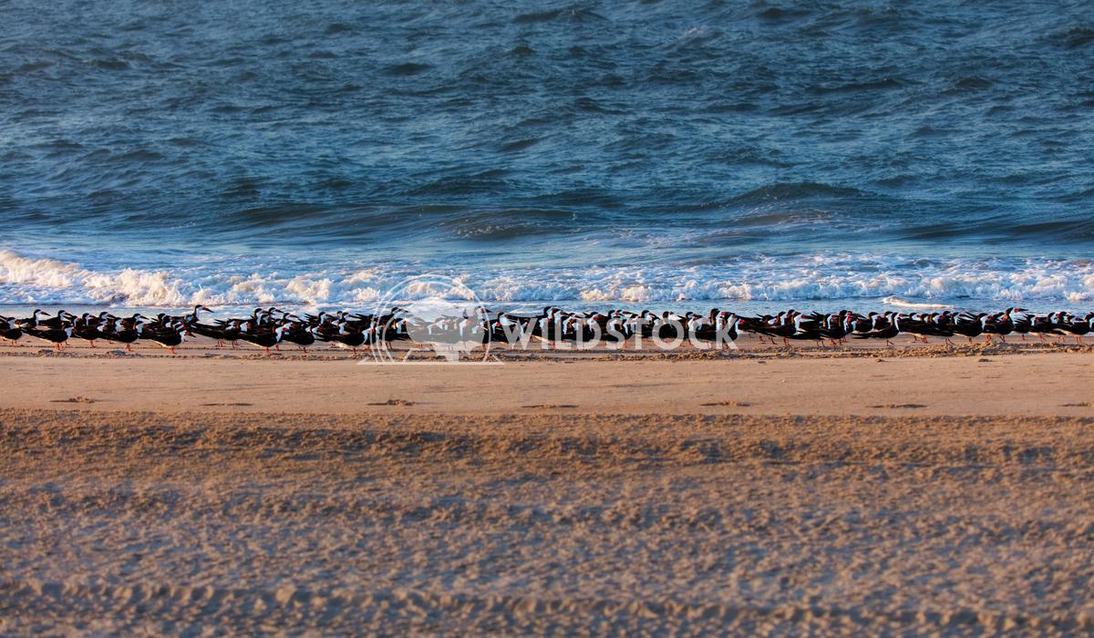 A flock of black skimmers Lara Eichenwald A flock of black skimmers resting on a beach. Atlantic Ocean