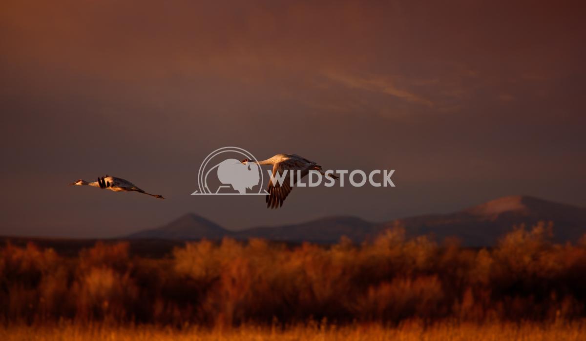 Flying sandhill cranes Lara Eichenwald Bosque del Apache National Wildlife Refuge in New Mexico.  National Wildlife Ref
