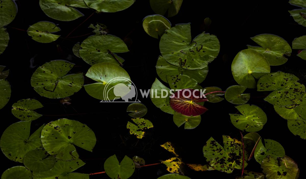 Lily water leaves close-up Lara Eichenwald  Big Branch Marsh National Wildlife Refuge